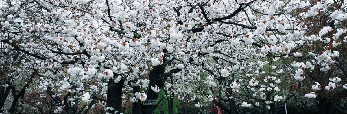 桜守が案内する弘前公園!「遅咲きの桜」がこれから見ごろ!!