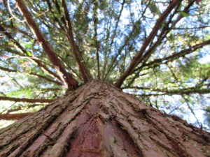 Western REd Cedar at Yelm Shoreline