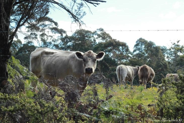 Cows in Bilpin