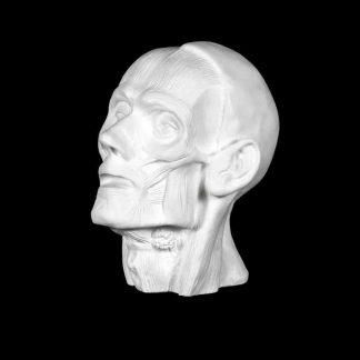 gipsovaya-figura-golova-ekorshe-myunhenskaya-anatomicheskaya 1