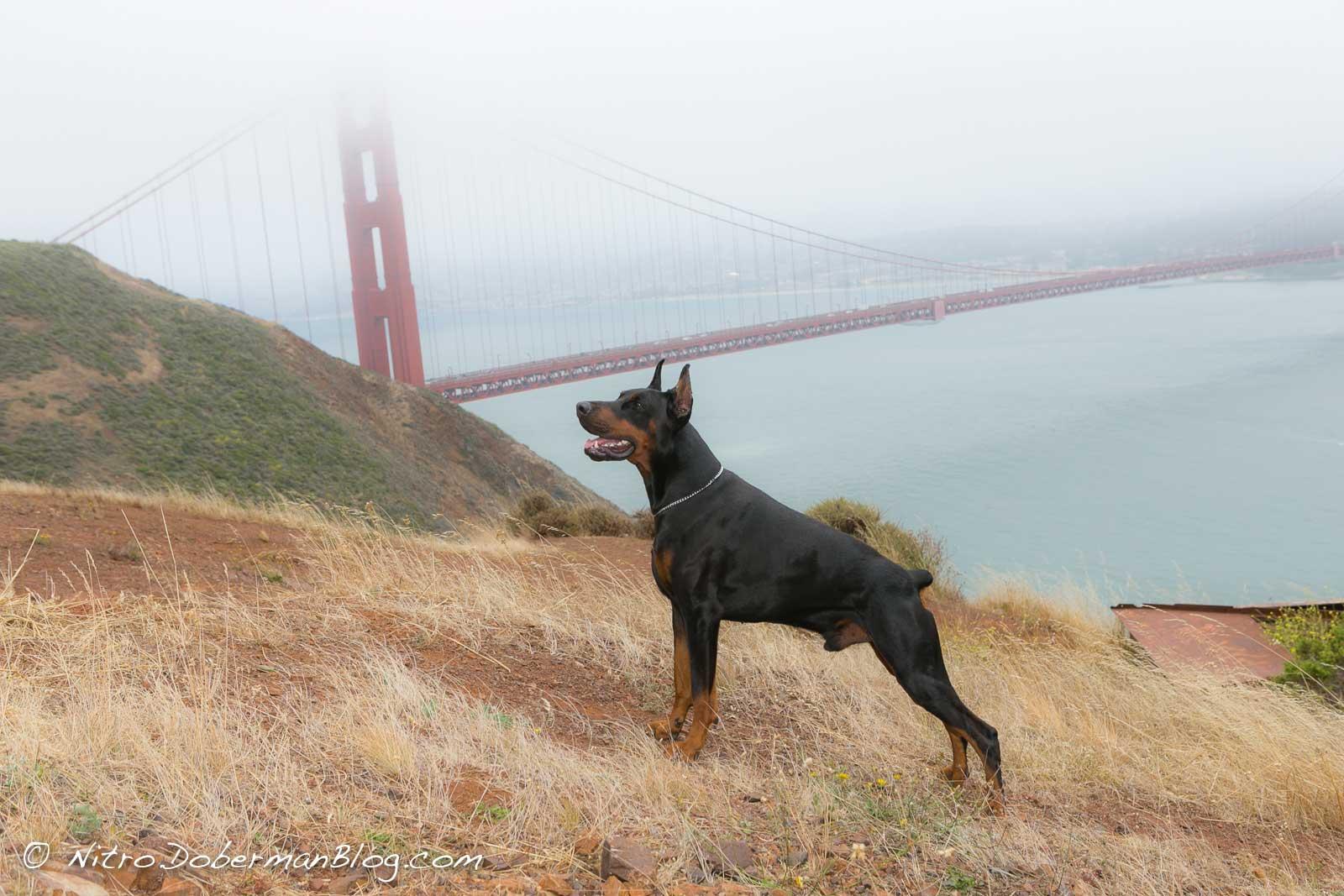 European Doberman Nitro near Golden Gate Bridge in San Francisco, 3y 4m.