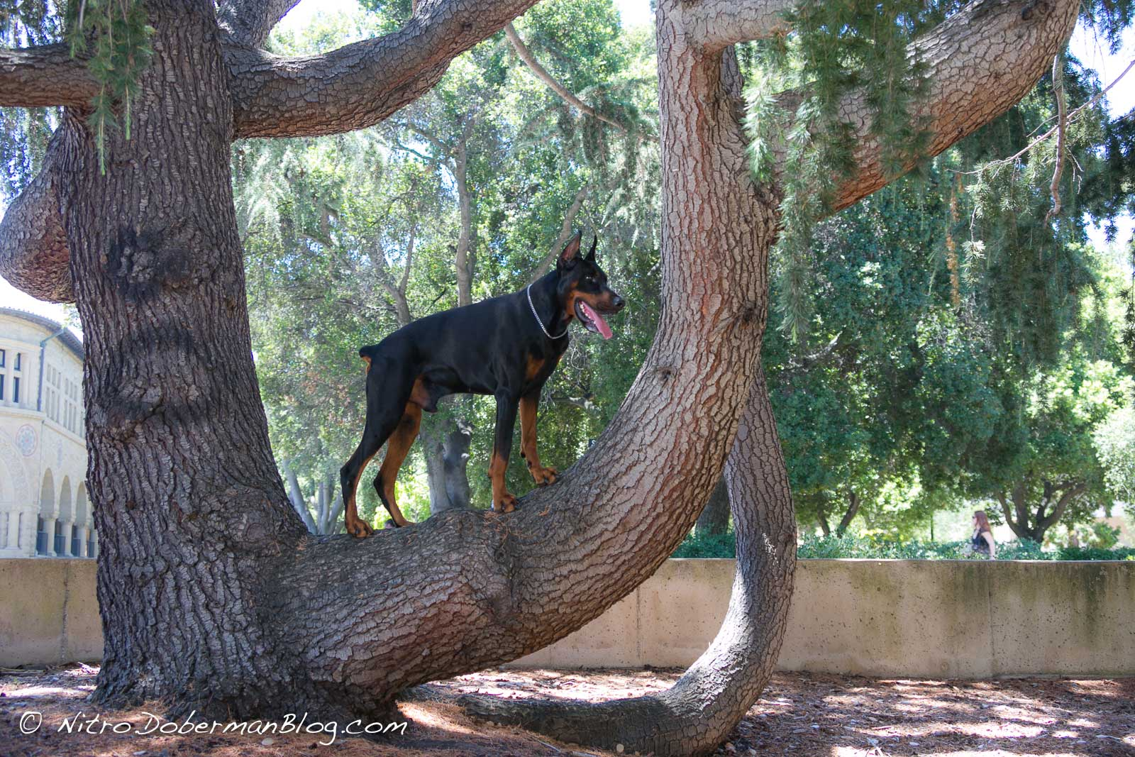European Doberman Nitro on a tree, 3y 4m.