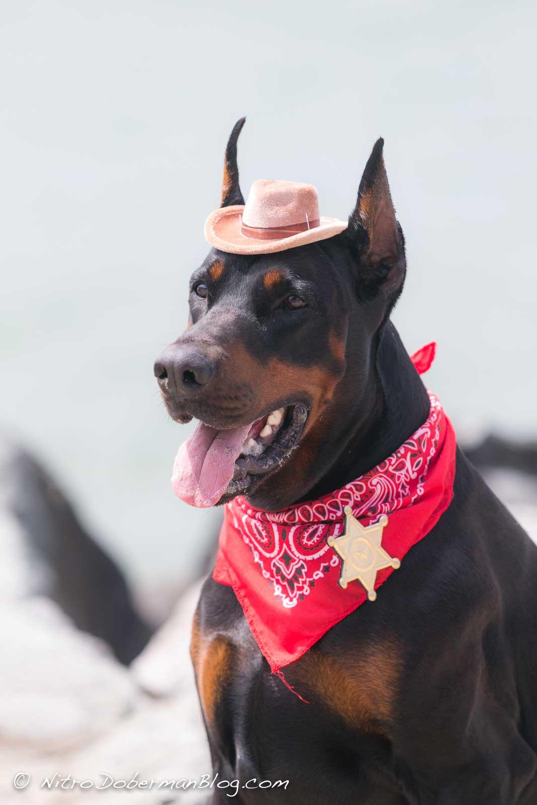 European Doberman Nitro as a sheriff in San Francisco, 3y 4m.