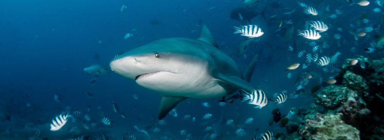 Tiburón en Beqa Lagoon