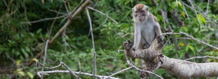 Kota kinabalu monkey