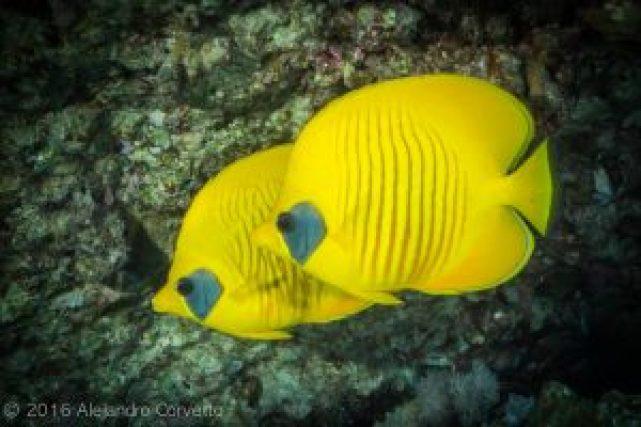 Masked buttlerflyfish