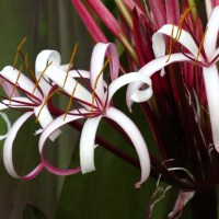 Greetings From The Planet Crinum