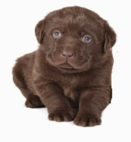 puppy - Authentic Learning: Using Puppies to Teach High School Genetics