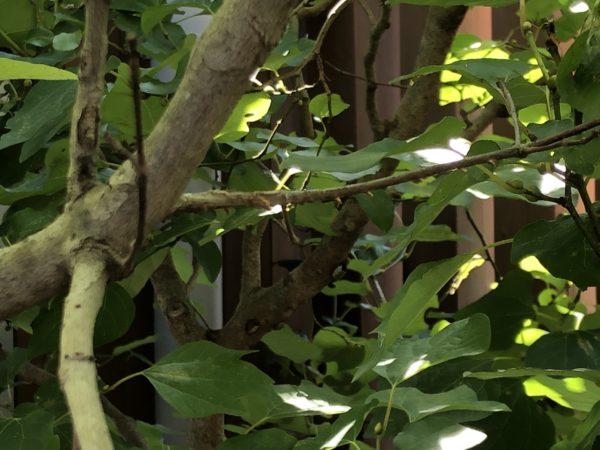 蜂にかじられたメグスリノキ