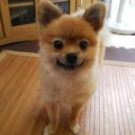 愛犬ポン(ポメラニアン)の毛をセルフカット!耳裏の毛玉が・・皮膚病の原因を取り除こう!