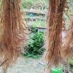 家庭菜園でもち麦(キラリもち)の収穫、脱穀と籾摺り~