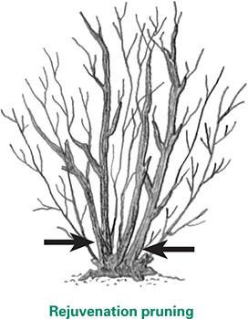 FS1221: Pruning Flowering Shrubs (Rutgers NJAES)