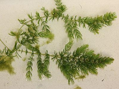 FS1236 Coontail Cerstophyllum demersum a Native