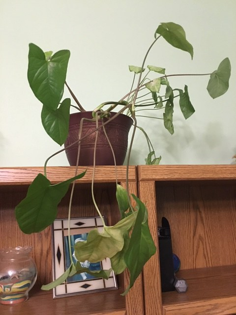 healthy philodendron