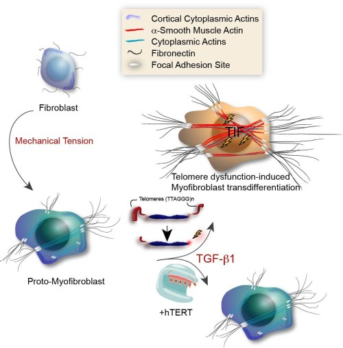 small resolution of text box model illustrating the role for tdis in myofibroblast transdifferentiation