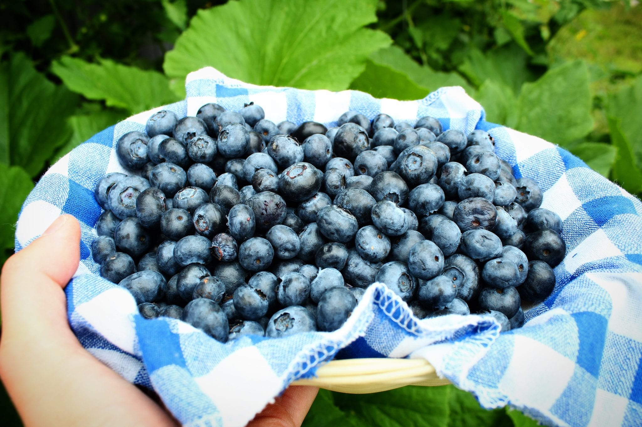 Read more about the article Jersey Blueberries: You'll Miss Them When They're Gone