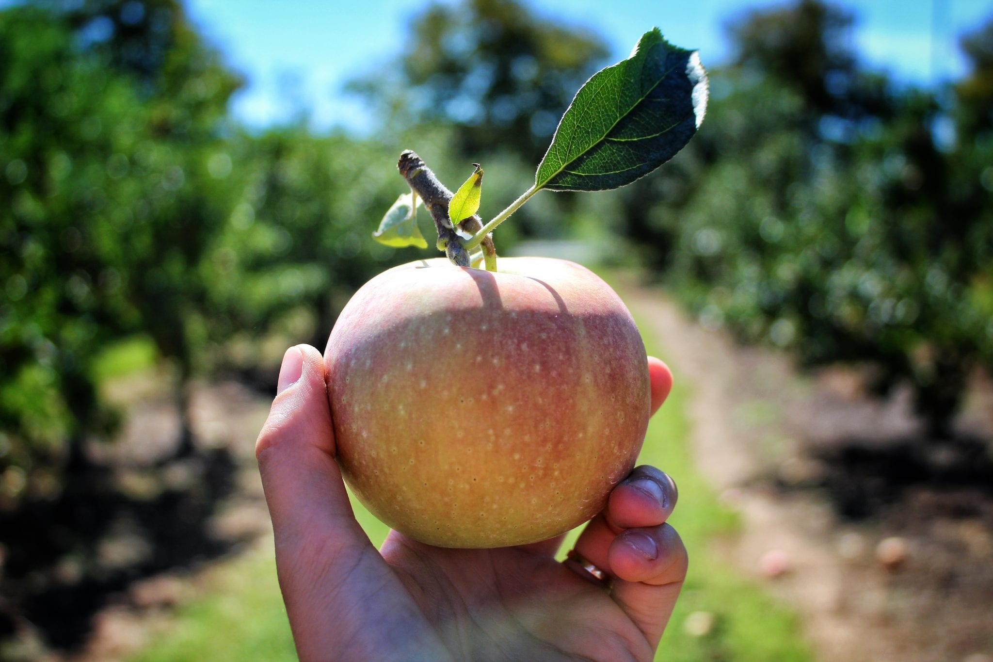 How (and Where) to Pick the Perfect Jersey Apple