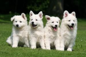 White_Swiss_Shepherd_Dog_600