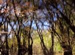 Forest reflection - Myakka