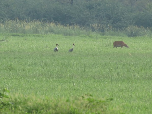 Finally spotted sarus crane!