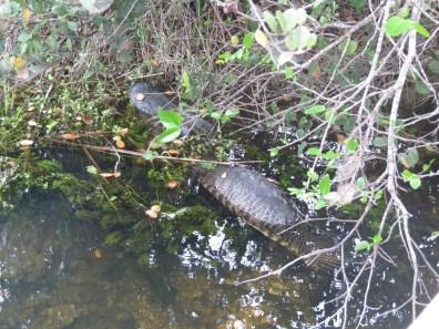 Alligator spotted!