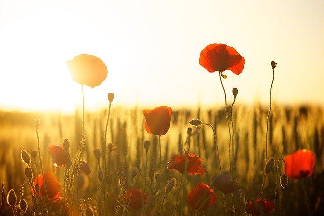 Poppies by Dani Géza - purely decorative
