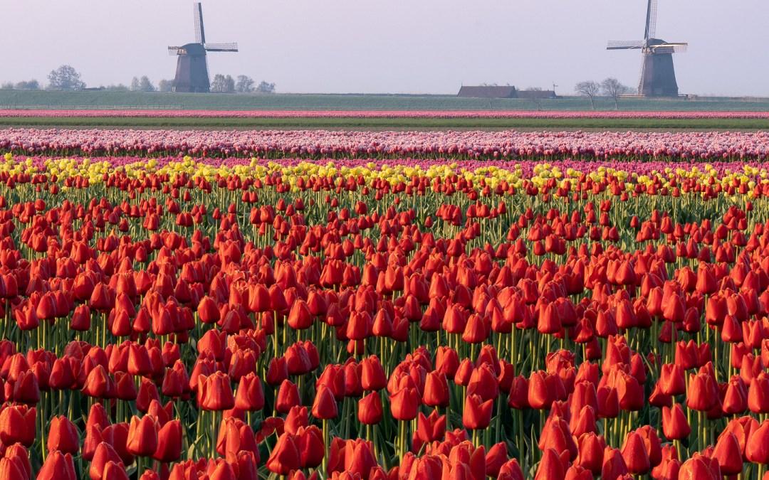 Molens en tulpen foto's met een verhaal