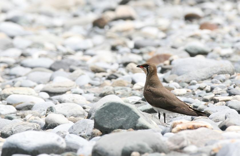 燕鴴夏季過境會於河床繁殖