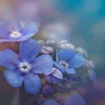 blooming forget me not flowers with delicate petals in garden
