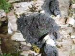 A beautiful Degelia lichen