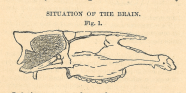 A line drawing of a cross section of the skull of a horse.