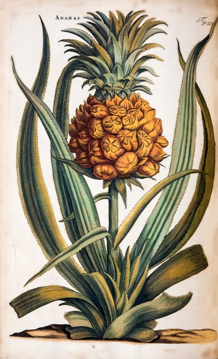 Colored botanical illustration of a pineapple plant.