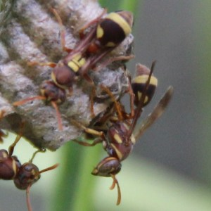 Malaysian Wasps August 2013