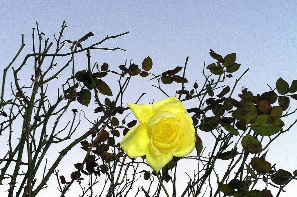 oct rose 2