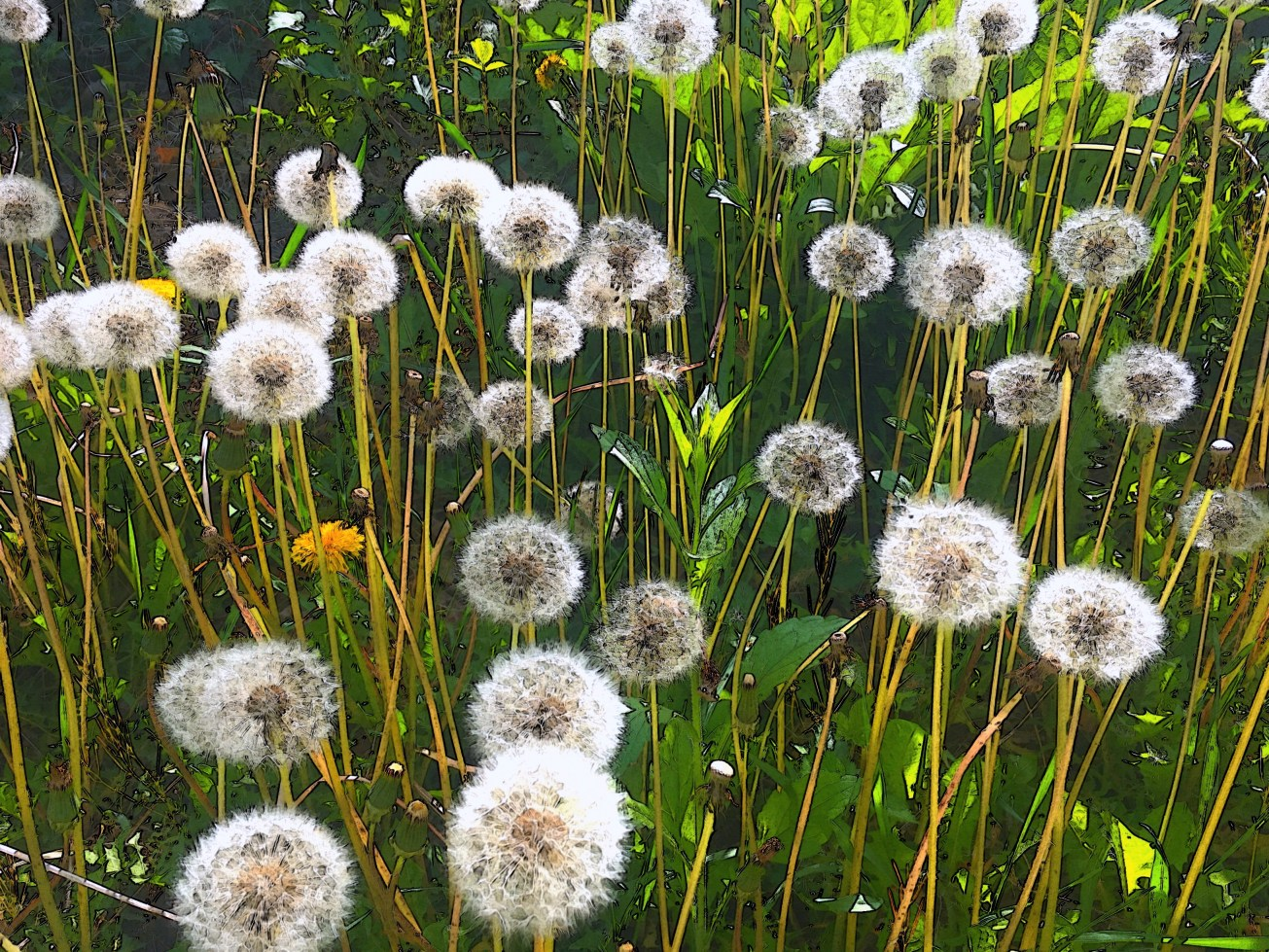 sunlit dandelions gall.jpg