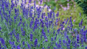 QUIZ: Fun facts about lavender