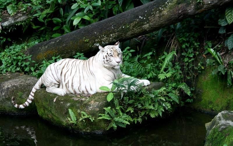 Bengal Tigers Life Cycle