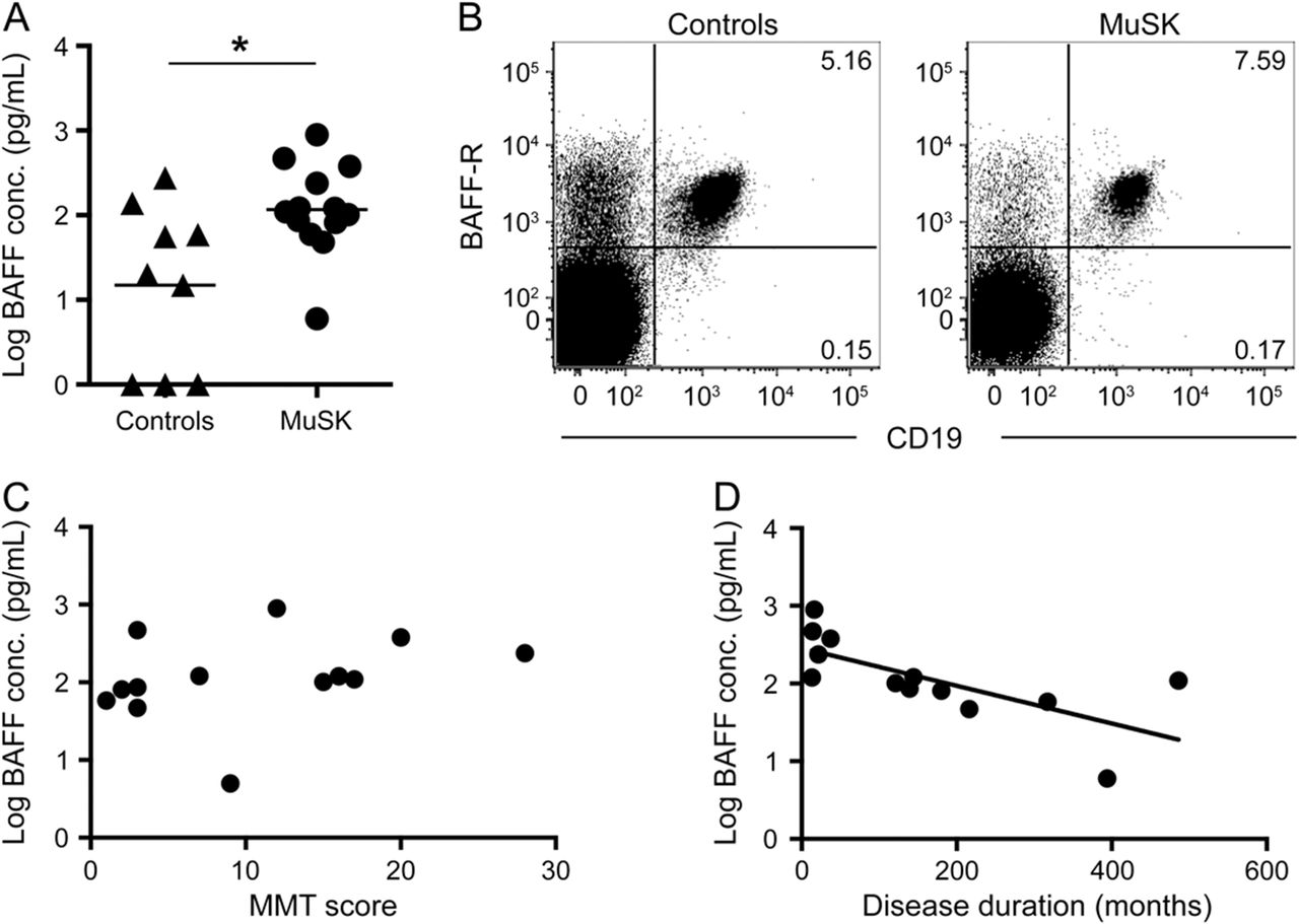 Characterization of B cells in muscle-specific kinase