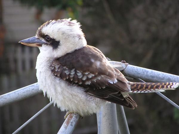 Kookaburra sits on our old Hills Hoist ...