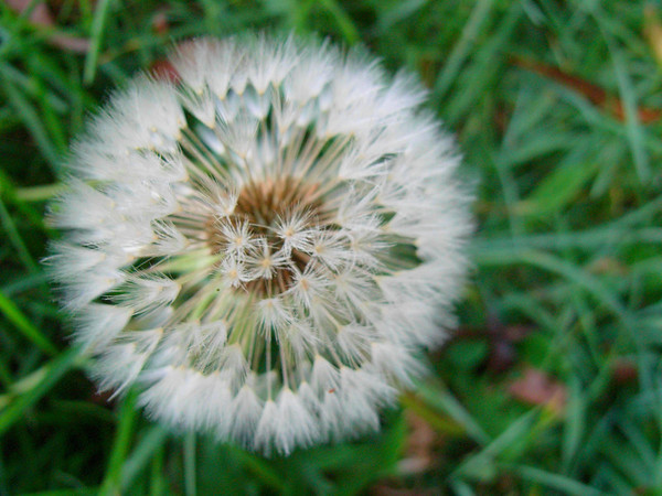 Dandelion Clock from my Mean Law Conference, Oxford.