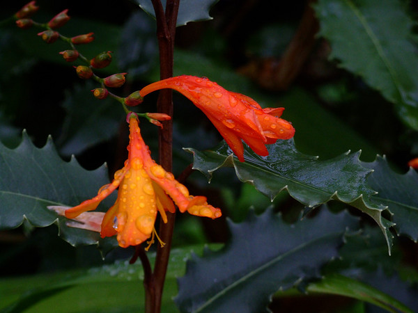 Crocosima in the Rain, Northern  Ireland, Oct 2009.