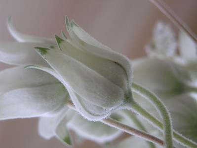 Flannel flower, in bloom and bud.  Photo taken October 2006