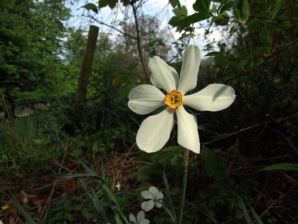 A wild daffodil, I think.  Near Windermere, Lake District. April 2009.