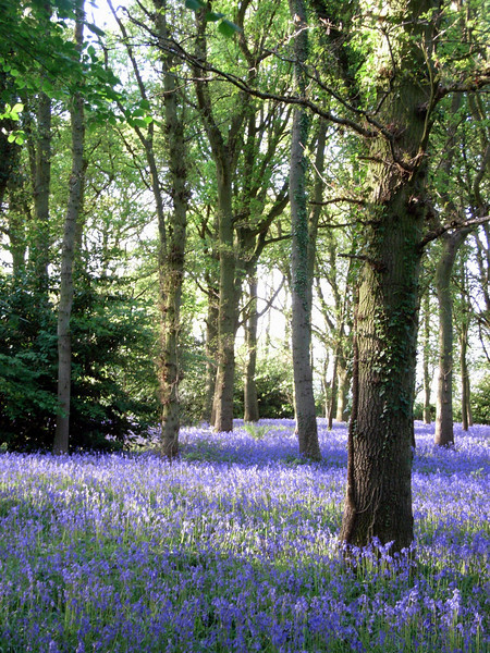 Bluebell Wood, near Moreton-in-Marsh. May 2009.