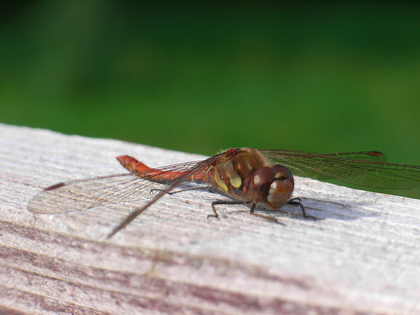 A dragonfly on a fencepost, near Picked Hill, Wiltshire, August 2009.