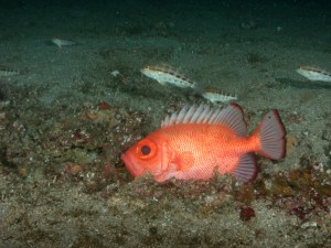 A red fish called Big Eye sitting on the bottom.