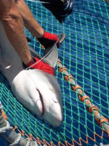cradle with sandbar shark