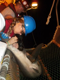 Bianca, Scientist, taking a blood sample from a bull shark