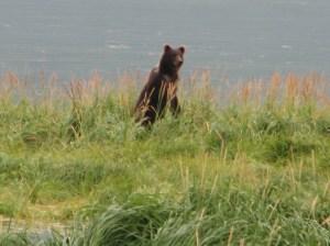 Kodiak Brown Bear. Taken 08-19-11