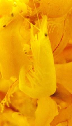 Gulfweed Shrimp - Latreutes